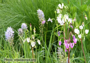 This photo shows Wild Hyacinth and Shooting Star, part of our seed mix. Click for a blowup.