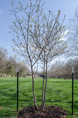 Judy Widener memorial tree. Click for a gallery of images.